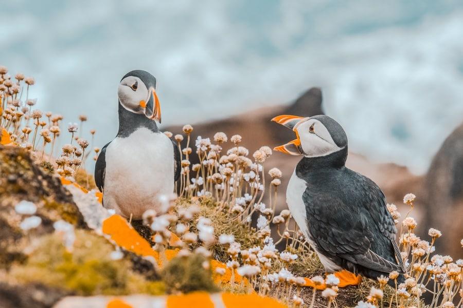 Puffin Faroe